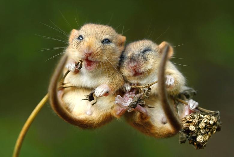 Hazelmuis Foto: Miroslav Hlavko Shutterstock