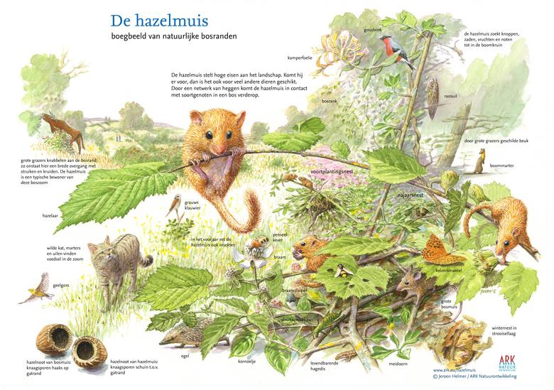 De hazelmuis: Boegbeeld van natuurlijke bosranden. Tekening: Jeroen Helmer