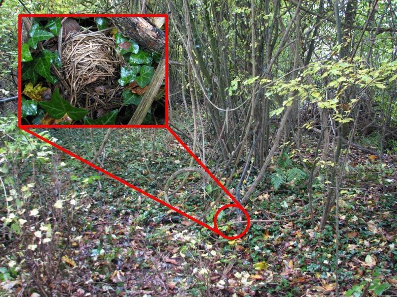 Winternest 1: zeer zichtbaar op de grond in lage klimop, op 5 meter van de bosrand, aan de basis van enekel bosrankstengels waar de schors van afgestript werd om zeer stevig nest mee te bouwen.
