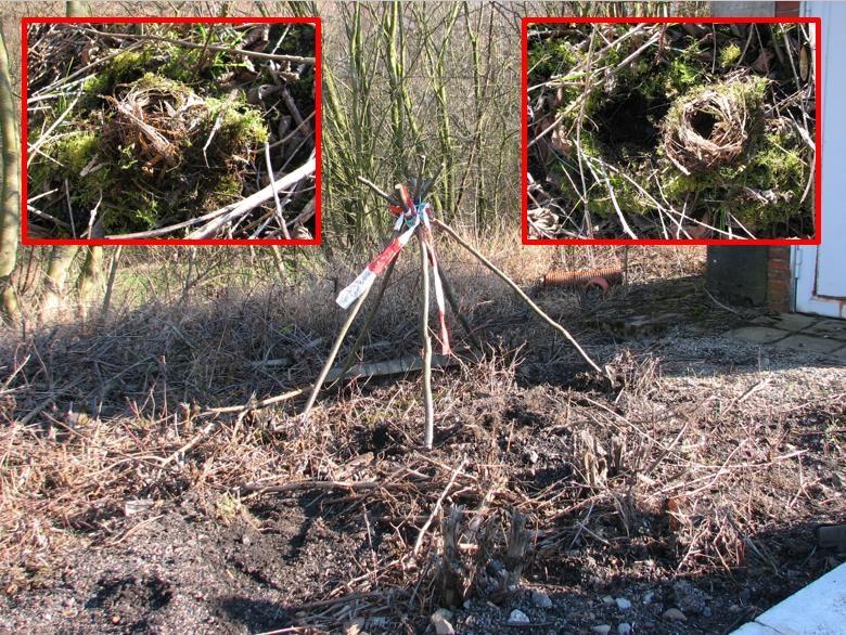 Winternest 2: beschermende takkenpiramide door ons over het nest geplaatst. Nadat de hazelmuis verhuisd was en na zware verstoring wegens werken langs het spoor, haalden we het nest vanonder het mos voor verder onderzoek.