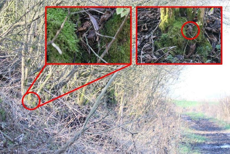Winternest 3: gebouwd met afgestripte schors, op 20 cm hoog in de met mos begroeide basis van een vlier, op slechts 2 meter naast een drukbelopen wandelpad.