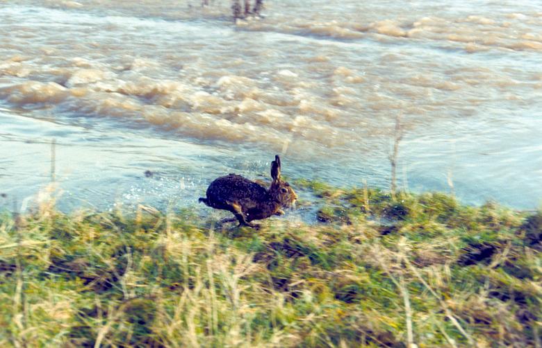 Haas vluchtend voor hoogwater Millingerwaard 1995