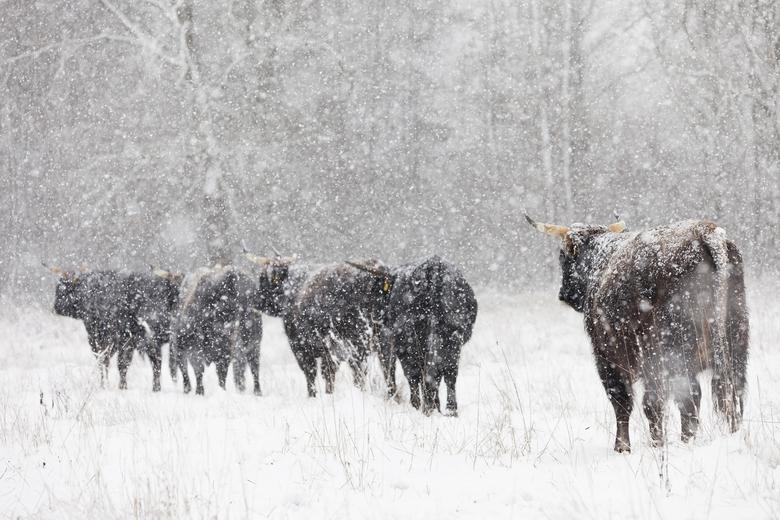 Taurossen in de winter. Foto: Bob Luijks, Natuurportret