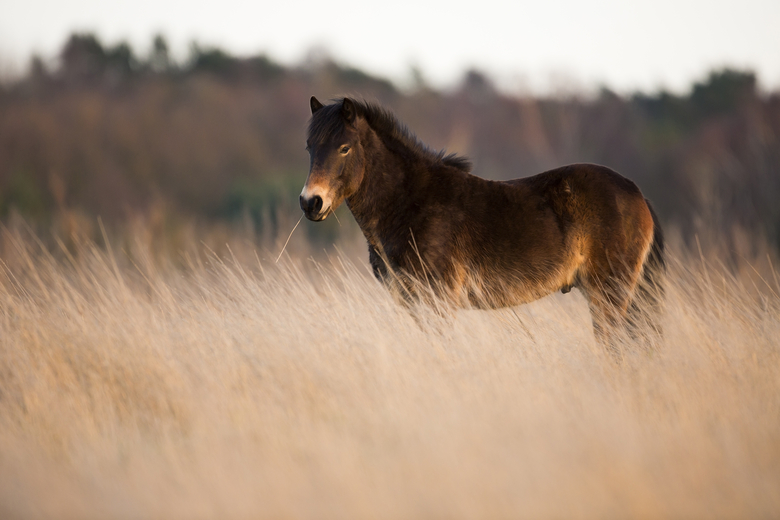 Exmoor pony. Foto: Bob Luijks/Natuurportret