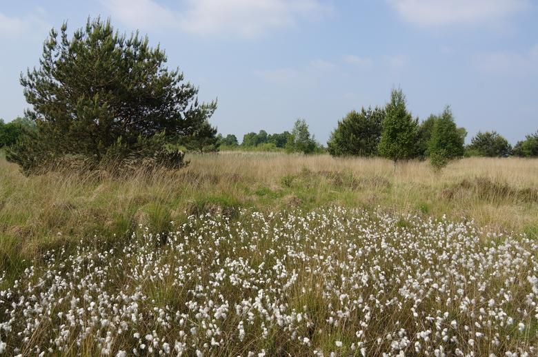 Landschap met veenpluis op de Loozerheide