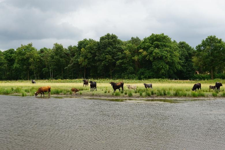 Taurossen in het Kempen~Broek