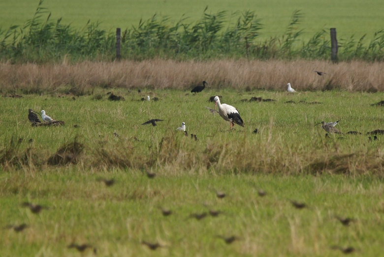 Zwarte Ibis. Foto: Theo van der Heijden