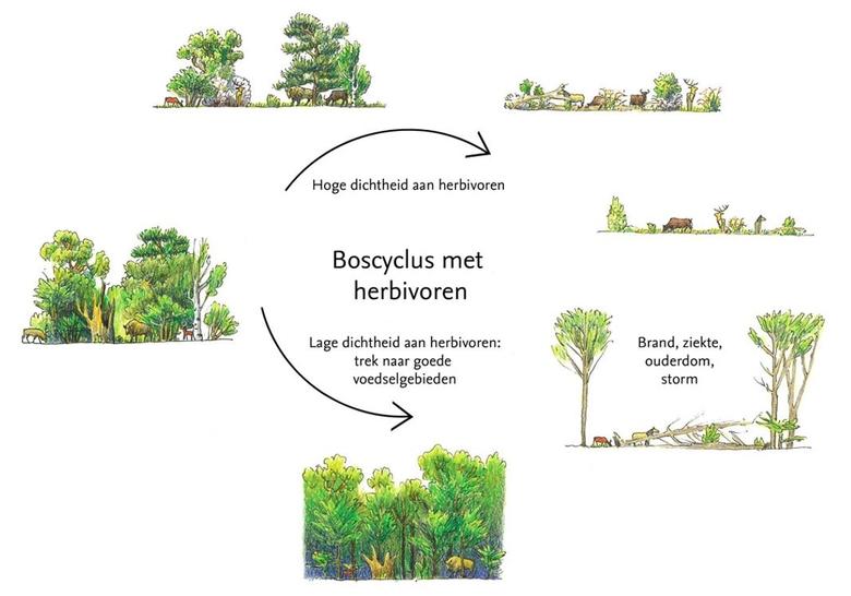 De boscyclus van een natuurlijk begraasd bos (Illustratie: Jeroen Helmer/ARK)
