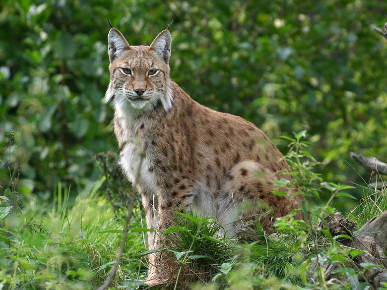 Lynx. Foto: Olaf op den Kamp