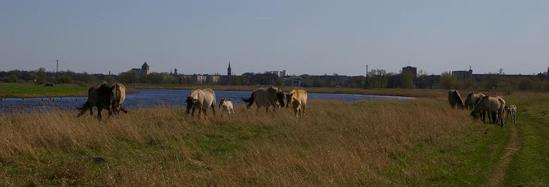 Konikpaarden op Stadseiland in Jelgava, Letland in 2004