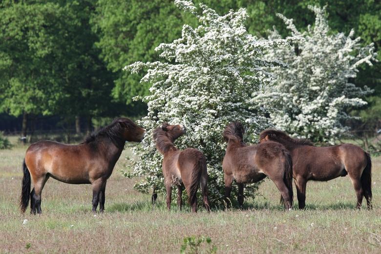 Exmoors eten meidoornbloesem. Foto: Maurice van Doorn