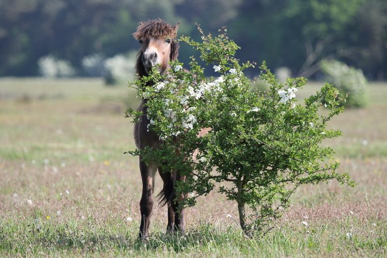 Exmoor eet meidoornbloesem, foto: Maurice van Doorn