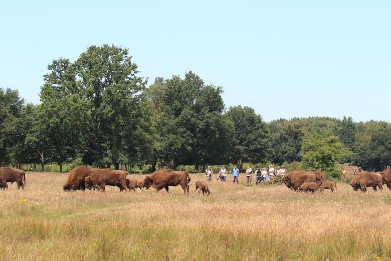 Wandelaars bij de wisenten in de  Maashorst
