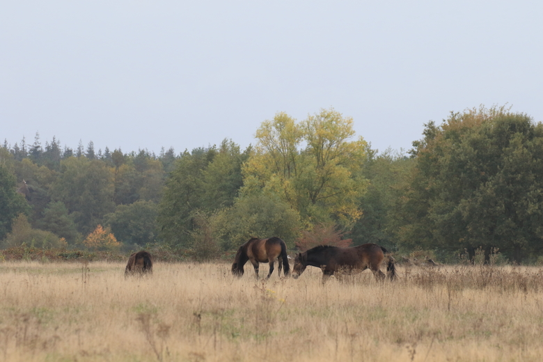 Exmoor pony's in de Maashorst