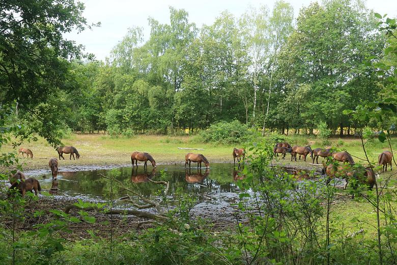 Exmoor pony's bij een opdrogende poel. De beheerder houdt de conditie van de kuddes en de beschikbaarheid van water en voedsel in de gaten. (Foto: Leo Linnartz)