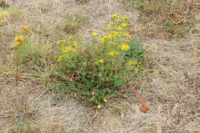 Bloeiende bloemen in een grotendeels afgestorven grasmat. Het sint janskruid, duizendblad en de tormentil op deze foto lijken weinig last te hebben van de droogte. (Foto: Leo Linnartz)