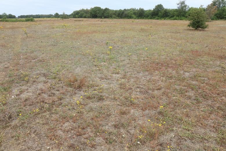 Verdroogd grasland in de Maashorst met afgestorven gras en veel kruiden. (Foto: Leo Linnartz)