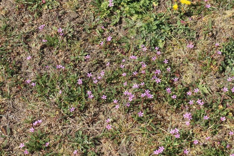 In verdroogd grasland groeit nu massaal gewone reigersbek