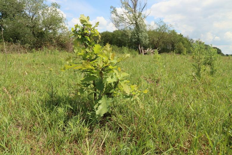 Jonge zomereik in open grasland in wisentgebied.