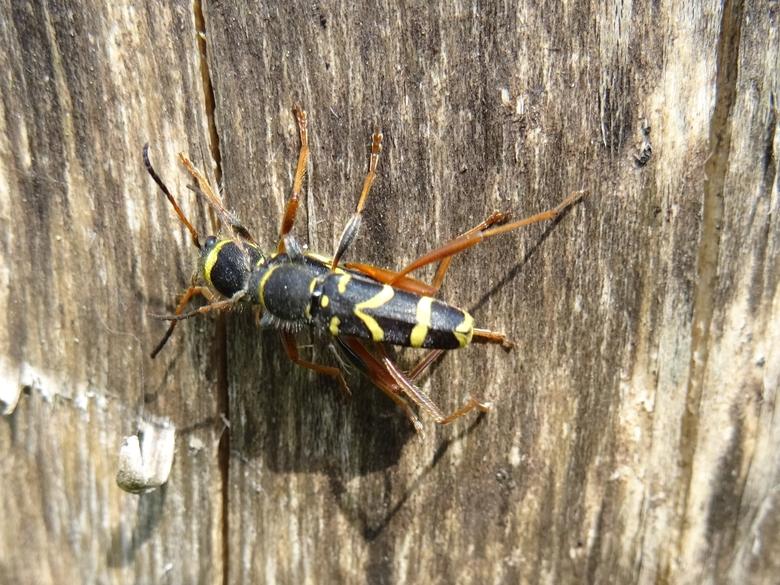 De kleine wespenboktor was een van de ontdekte soorten