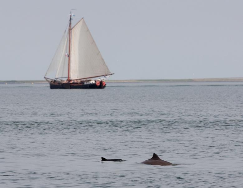 Bruinvis met zeilboot Foto WWF
