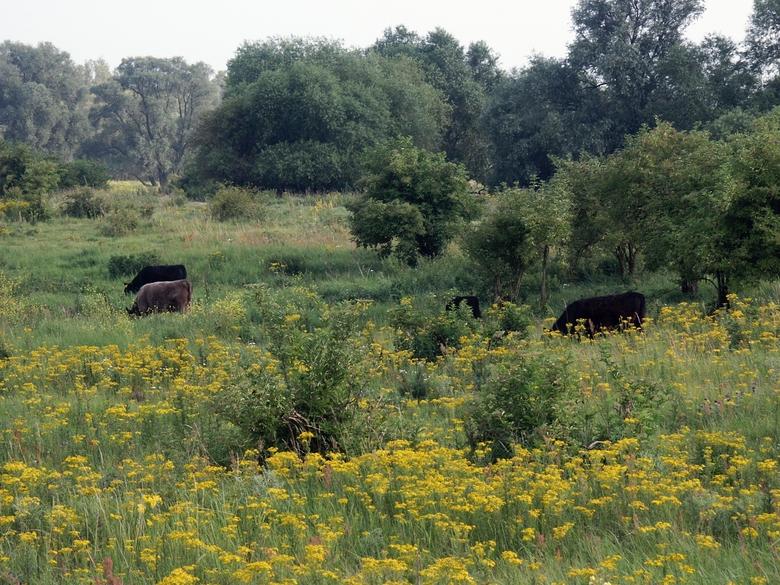 Grote grazers remden van oudsher al de ontwikkeling van bossen in de uiterwaard. Foto: Twan Teunissen