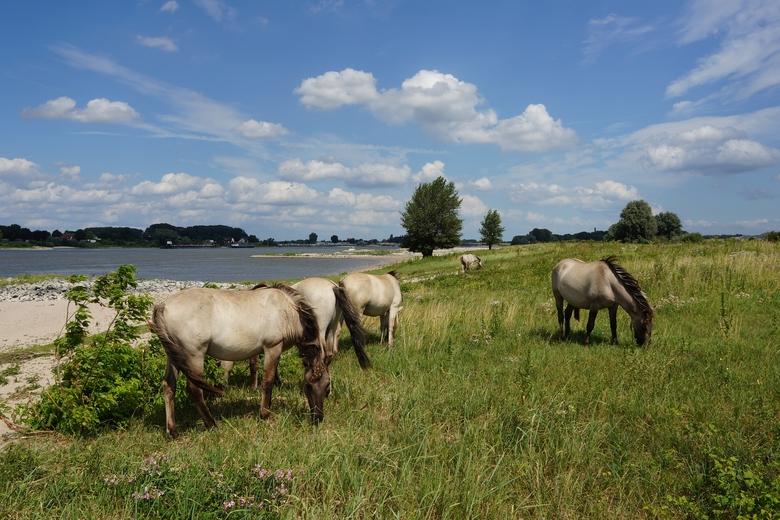 Paarden in de Millingerwaard. Foto: Twan Teunissen