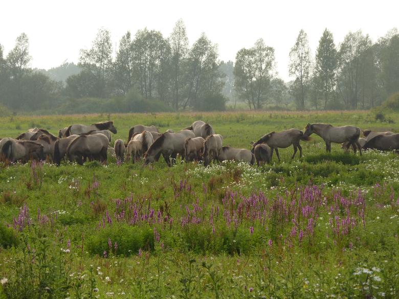 Konikpaarden in de Millingerwaardr