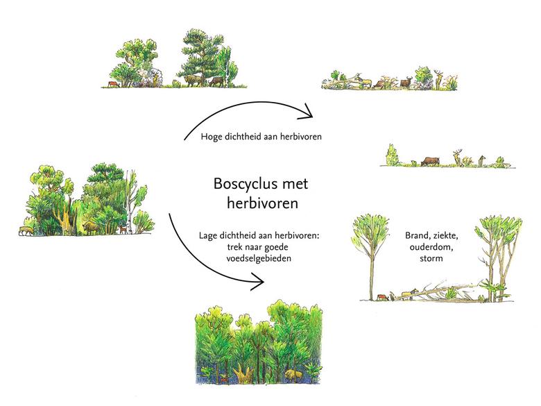 Boscyclus
