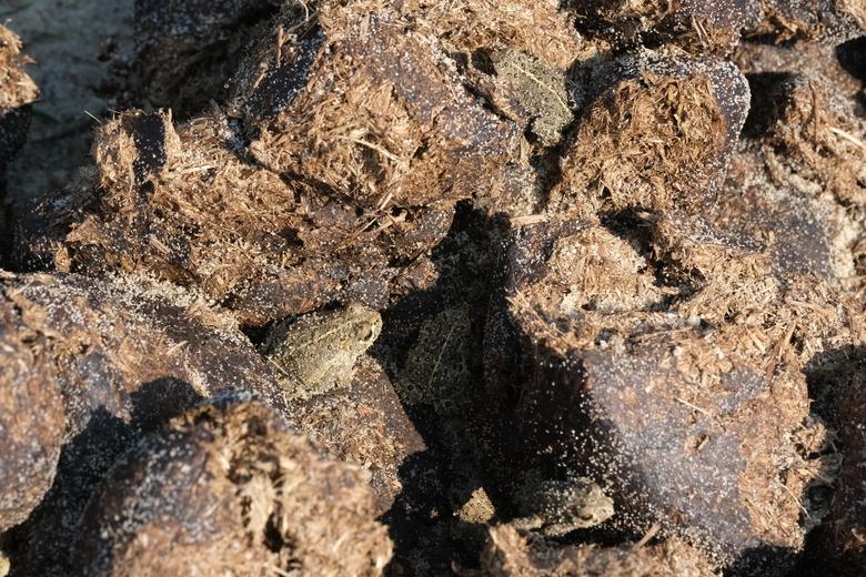 Vijf rugstreeppadjes op konikmest (Bron: Esther Linnartz)