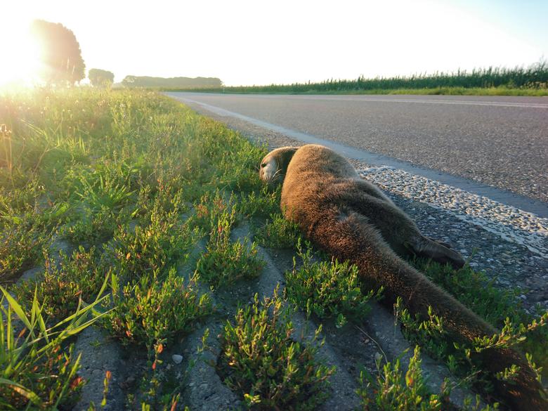 Doodgereden otter in de Ooijpolder bij Nijmegen. Foto: Martijn Verdoes (www.agami.nl)