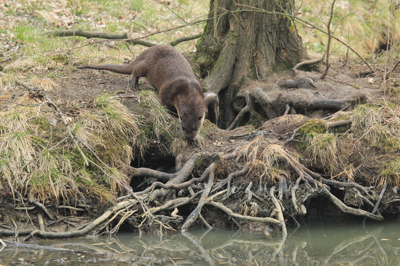 Otter bij otterholt