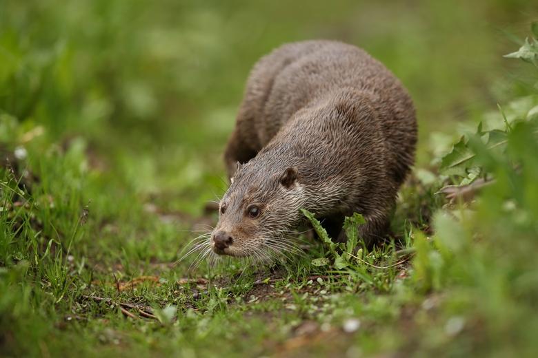 Otter. Foto: PhotocechCZ