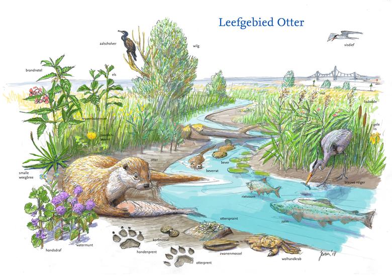 De otter krijgt nieuwe kansen langs de Rijn