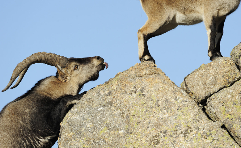 Iberian Ibex Foto Staffan Widstrand - Wild Wonders of Europe