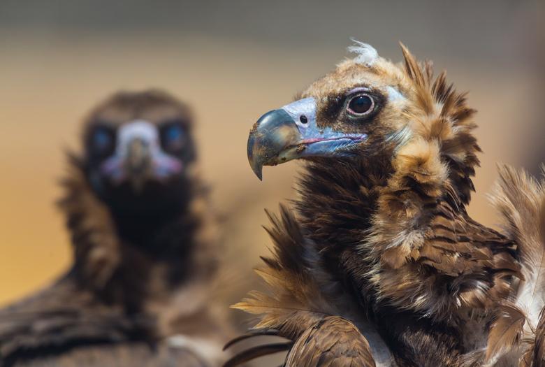 Monniksgieren, foto: Juan Carlos Munoz / Rewilding Europe