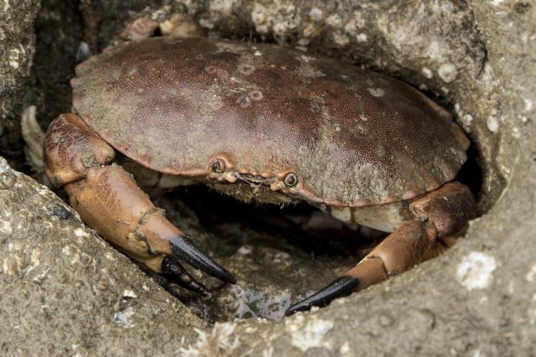Noordzeekrabben gebruiken de riffen om van te eten. Foto: Ernst Schrijver