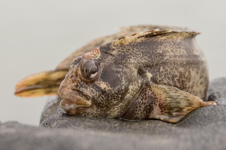 Ook de gehoornde slijmvis liet zich zien. Foto: Ernst Schrijver