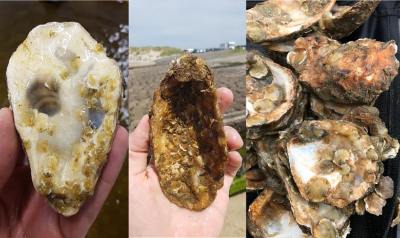 Het groeiproces van oesterlarfjes op schelpen: na 4, 8 en 12 weken. Foto: Ernst Schrijver