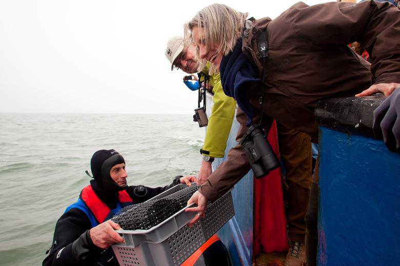 Platte oesters worden het water in gelaten