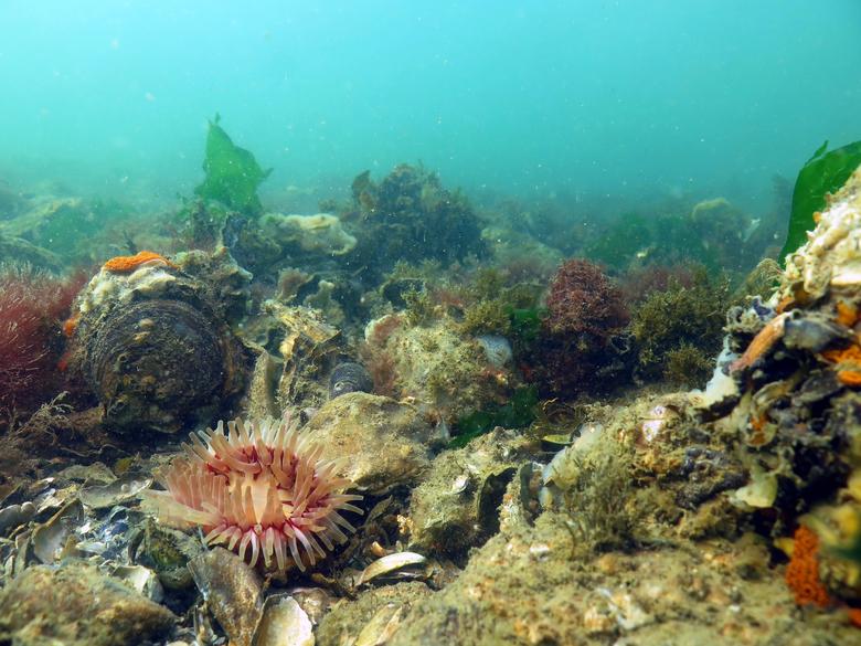 Planten en zeedieren maken dankbaar gebruik van schelpdierriffen. Foto: Floor Driessen, Bureau Waardenburg
