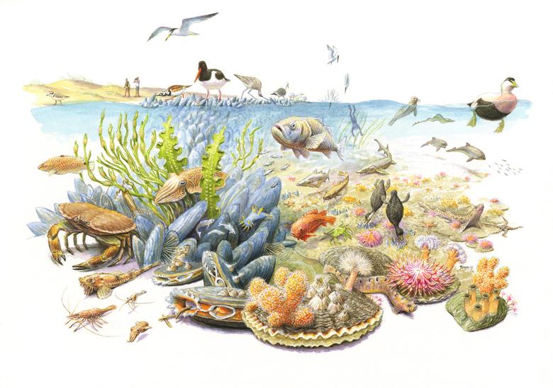 Schelpdierriffen zijn van groot belang voor allerlei planten en dieren in zee. Tekening: Jeroen Helmer - ARK