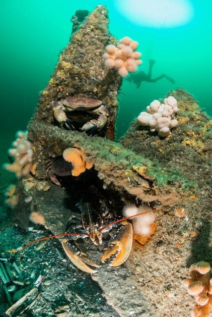 Kreeft en krab op een wrak met dodemansduim. Duiker op de achtergrond.