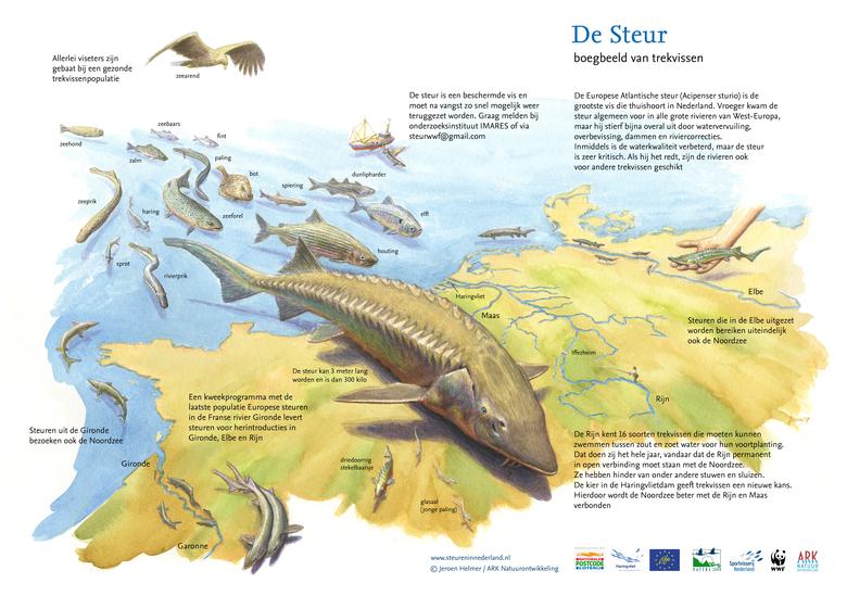 De steur is hét boegbeeld van trekvissen zoals de elft.
