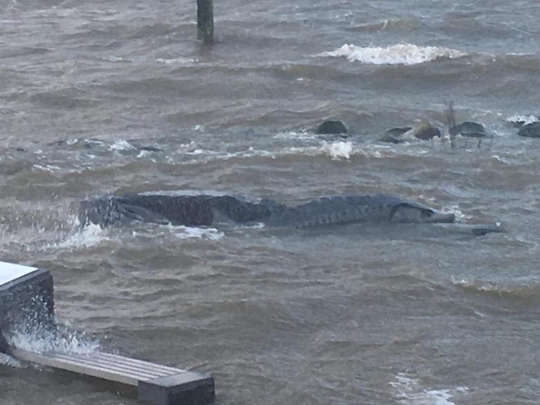 'Zwemmende' steur in Hellevoetsluis. Foto: Wethouder Aart-Jan Spoon, Gemeente Hellevoetsluis