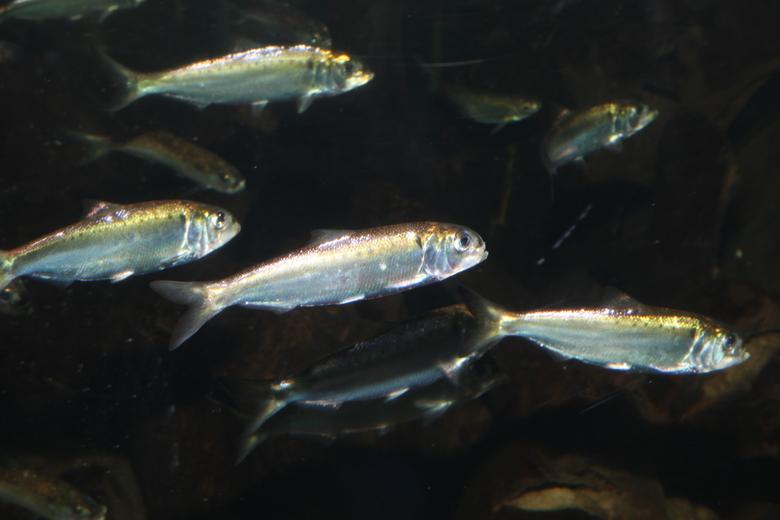 Elften zijn zeldzame trekvissen die voor hun voortplanting moeten kunnen zwemmen tussen zoet en zout water. Foto: Rheinischer fischereiverband.