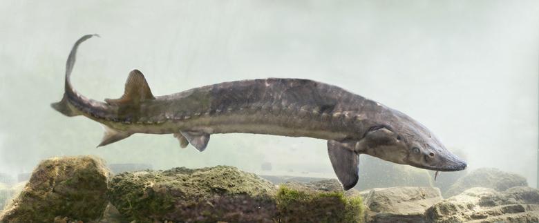 Europese Atlantische steur (Acipenser sturio). Foto: Jelger Herder