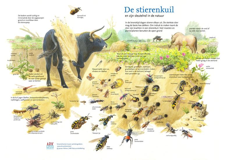 De sleutelrol van een stierenkuil in de natuur (Illustratie Jeroen Helmer)