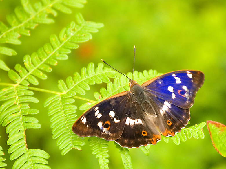Kleine weerschijnvlinder. Foto: Douwe Schut