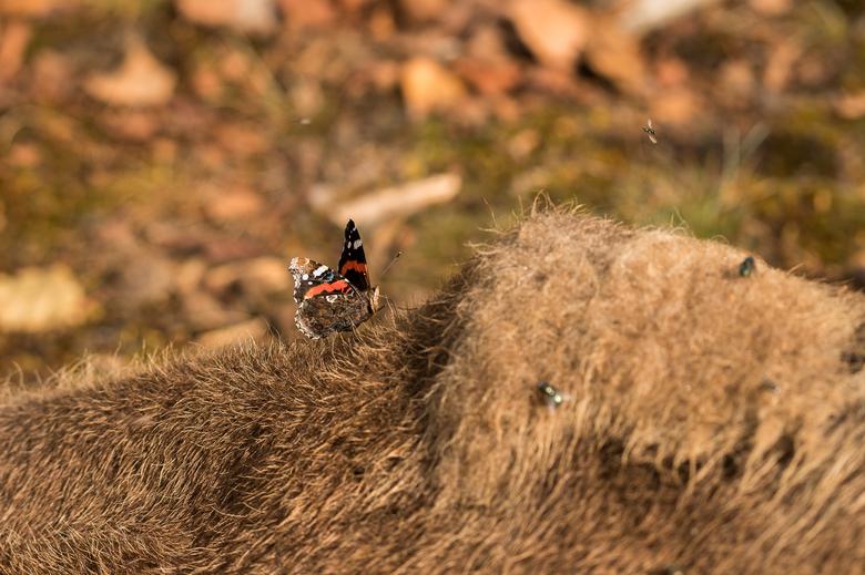 Atalanta op het kadaver van een wisent. Foto: Arjen Boerman, FREE Nature